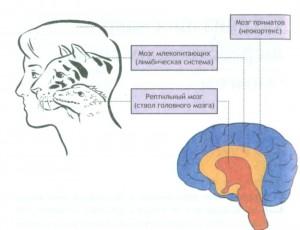 Три слоя человеческого мозга